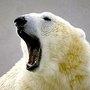 Niedźwiad